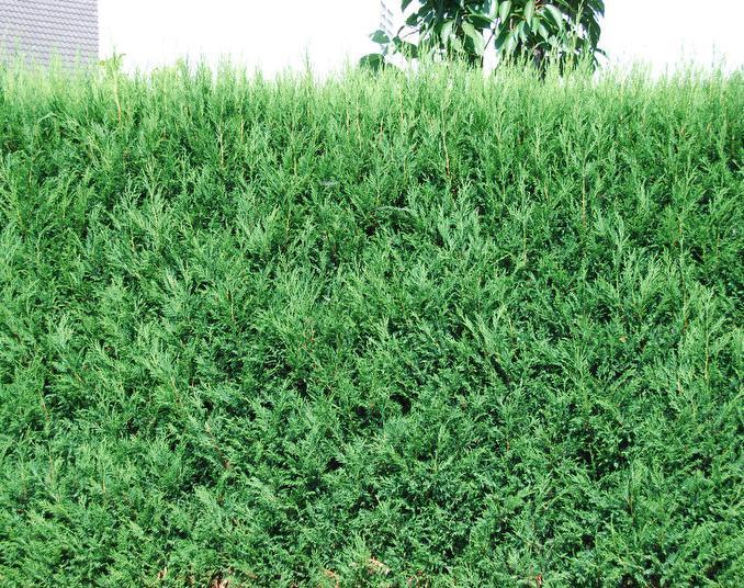 Scheinzypresse Bastard-Zypresse Cupressocyparis leylandii 40-60 cm im Container