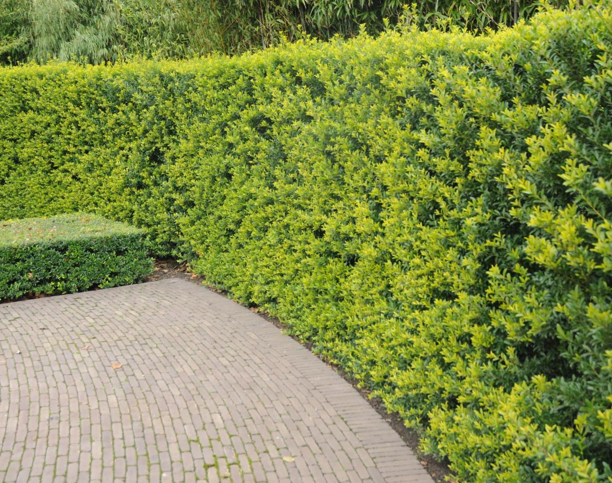 Ilex Crenata Green Hedge Buchsbaum Ersatz Immergrune