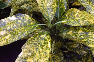 Japanische Aukube 'Crotonifolia'