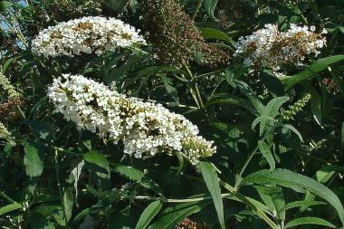 Schmetterlingsstrauch 'White Profusion'