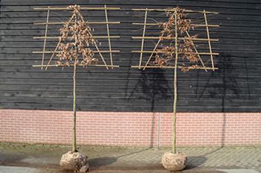 Frisch formierte Spalierbäume