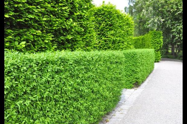 Wintergrüner Liguster 'Atrovirens'