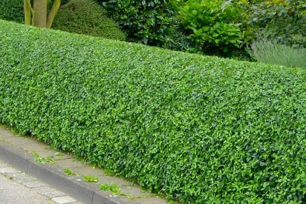 Liguster hecke for Evergreen pflanzen