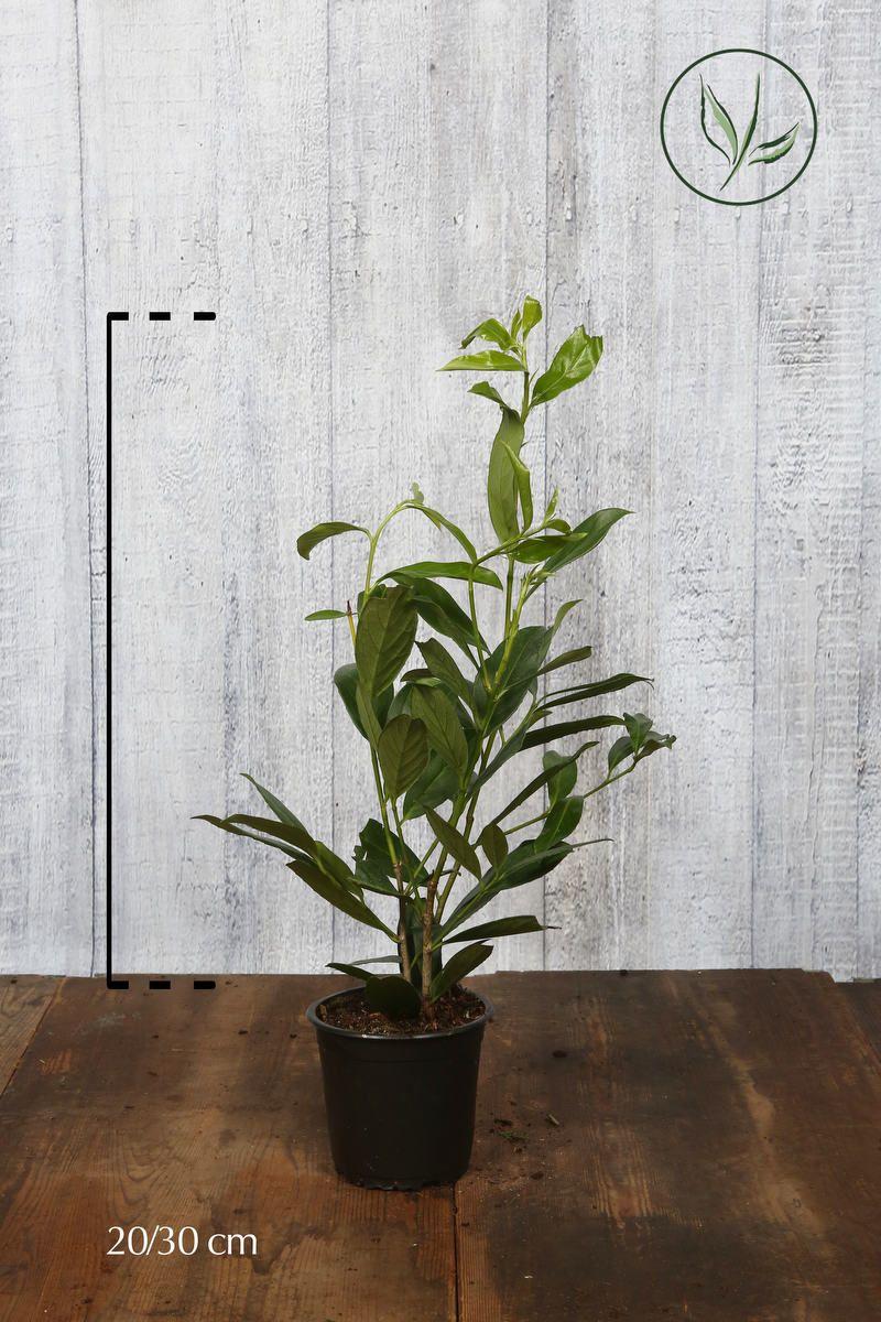 Kirschlorbeer 'Caucasica'  Topf 20-30 cm