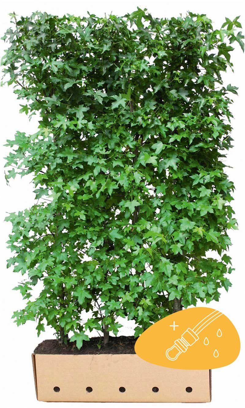 Amberbaum 'Liquidambar styraciflua' Fertig-Hecken 200 cm Extra Qualtität