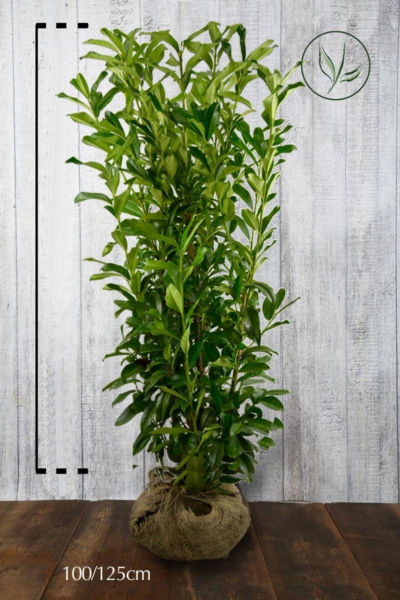 Kirschlorbeer 'Genolia'® Wurzelballen 100-125 cm Extra Qualtität
