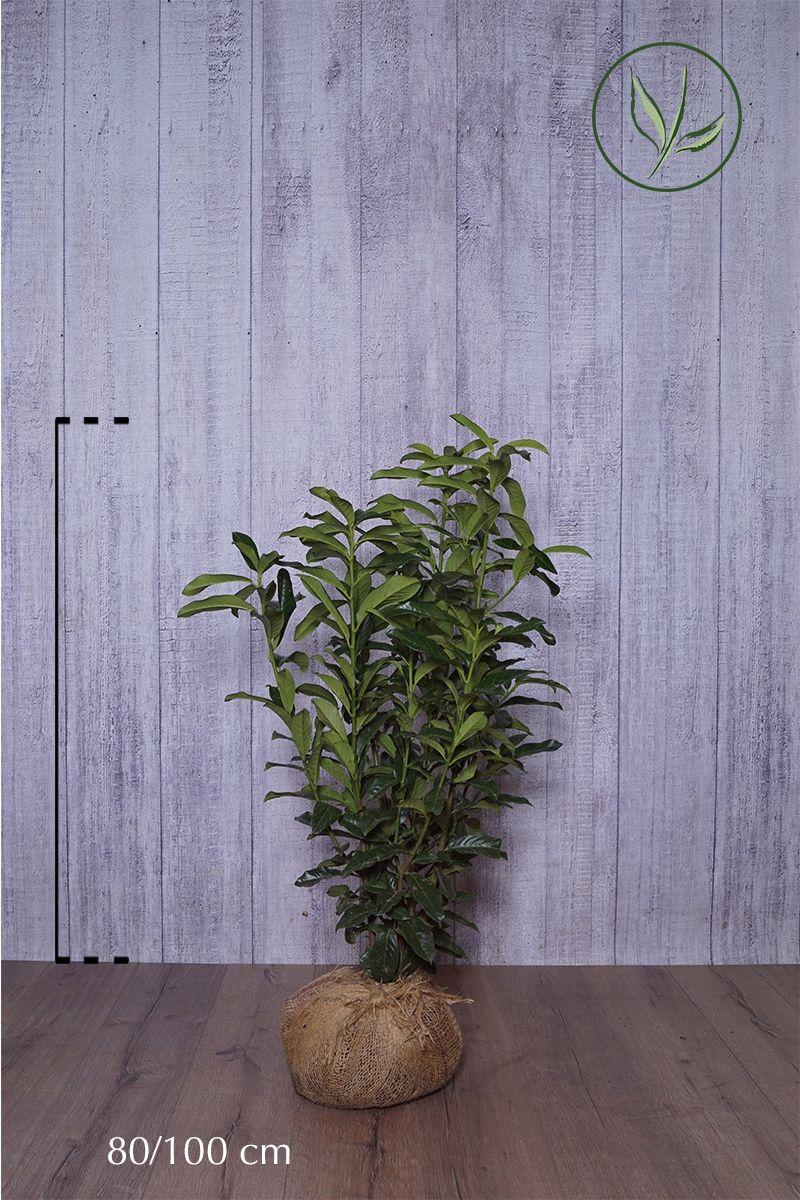 Kirschlorbeer 'Genolia'® Wurzelballen 80-100 cm Extra Qualtität