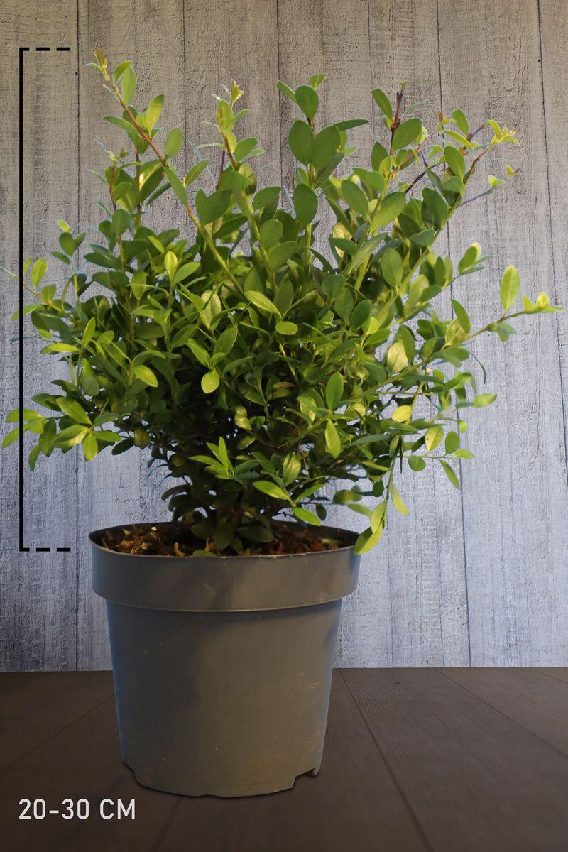 Japanische Stechpalme 'Dark Green'® Im Container 20-30 cm