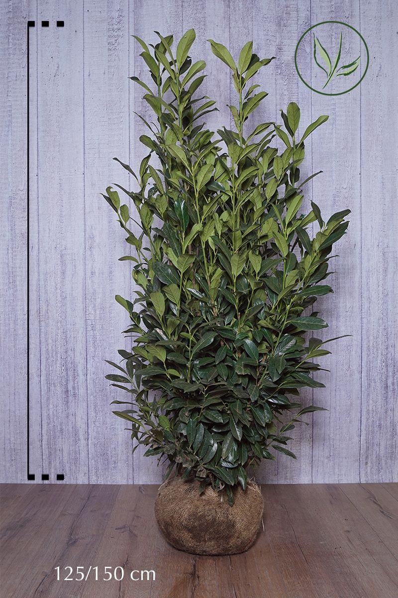 Kirschlorbeer 'Elly'® Wurzelballen 125-150 cm