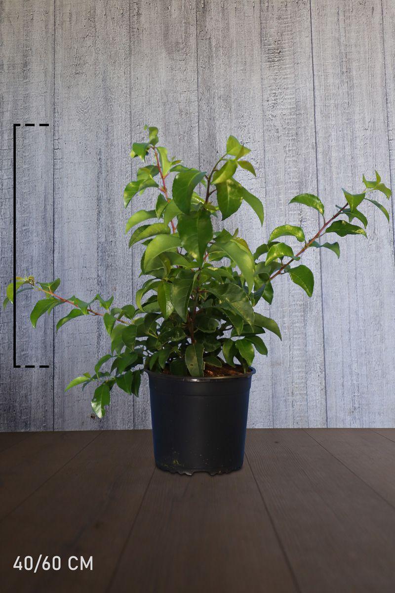 Kirschlorbeer 'Tico' Topf 40-60 cm