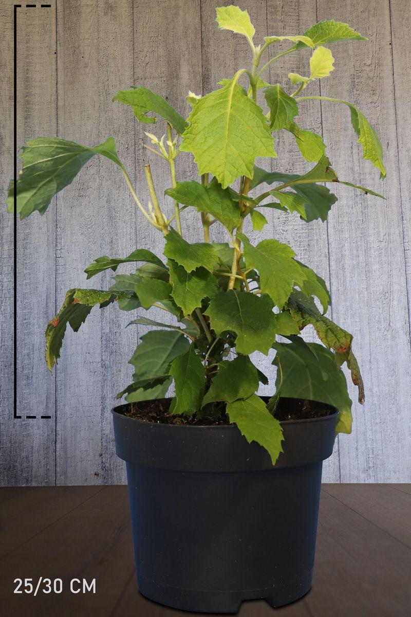 Eichenblatthortensie  Topf 25-30 cm