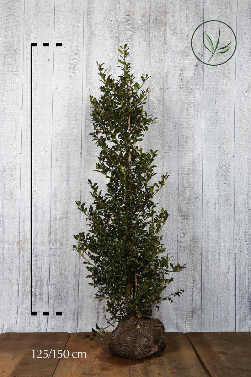 Stechpalme 'Alaska'  Wurzelballen 125-150 cm Extra Qualtität