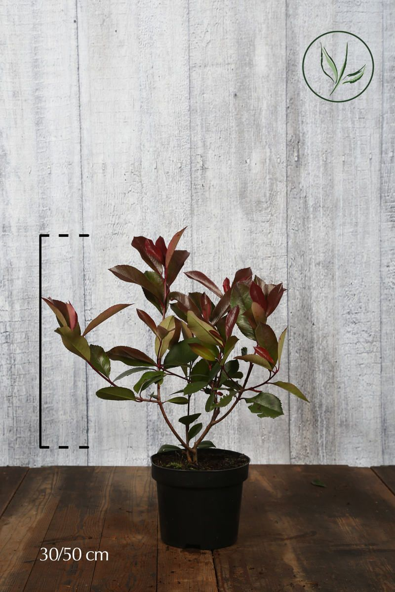 Glanzmispel - 'Red Robin' Topf 30-50 cm