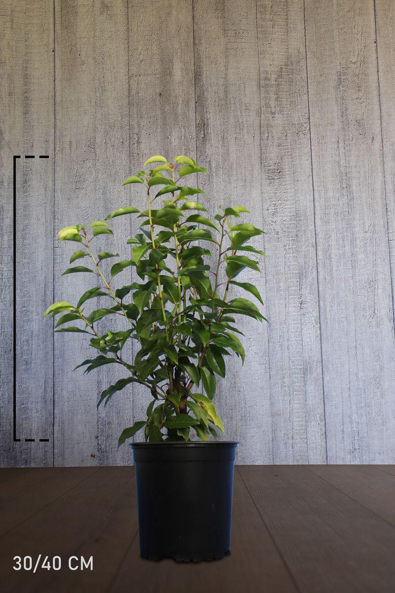 Portugiesischer Kirschlorbeer  Topf 30-40 cm