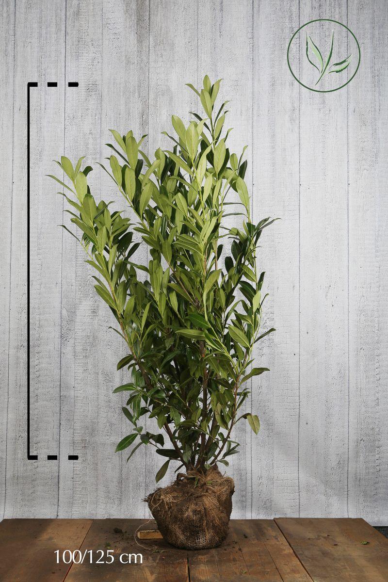 Kirschlorbeer 'Caucasica'  Wurzelballen 100-125 cm