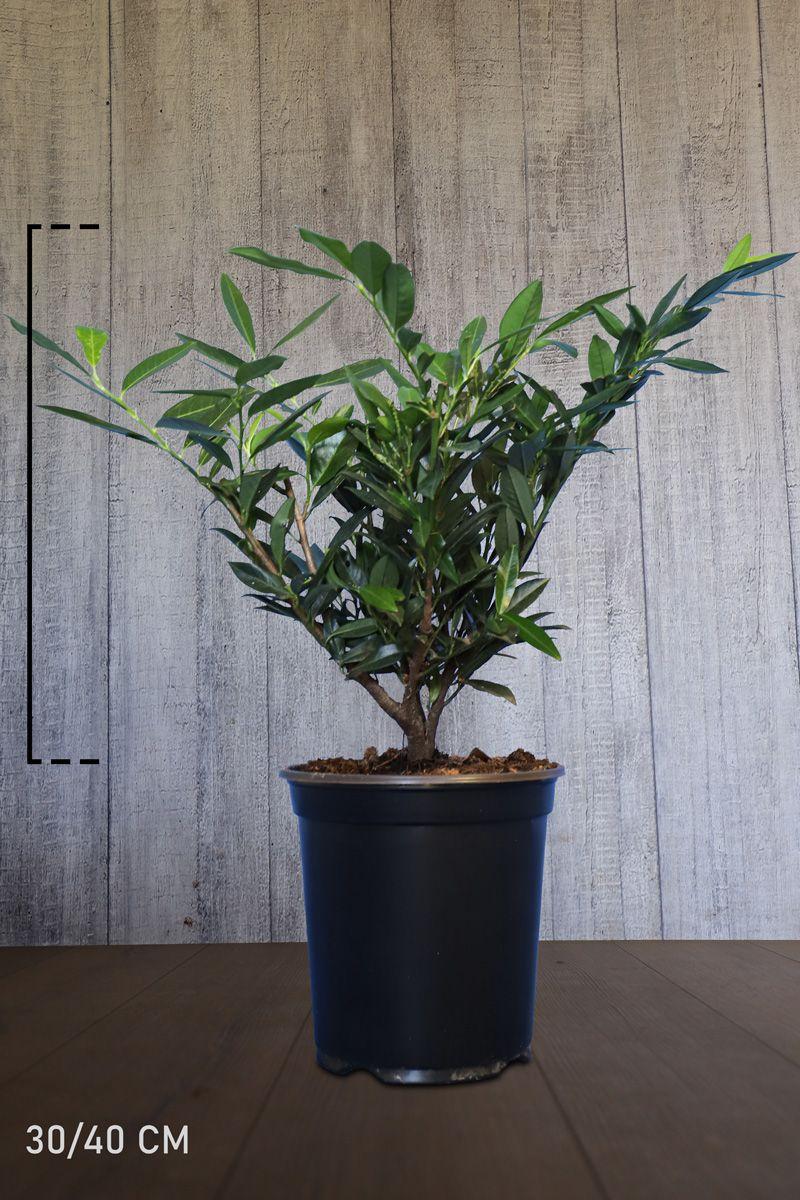 Breitwüchsiger Kirschlorbeer  Topf 30-40 cm