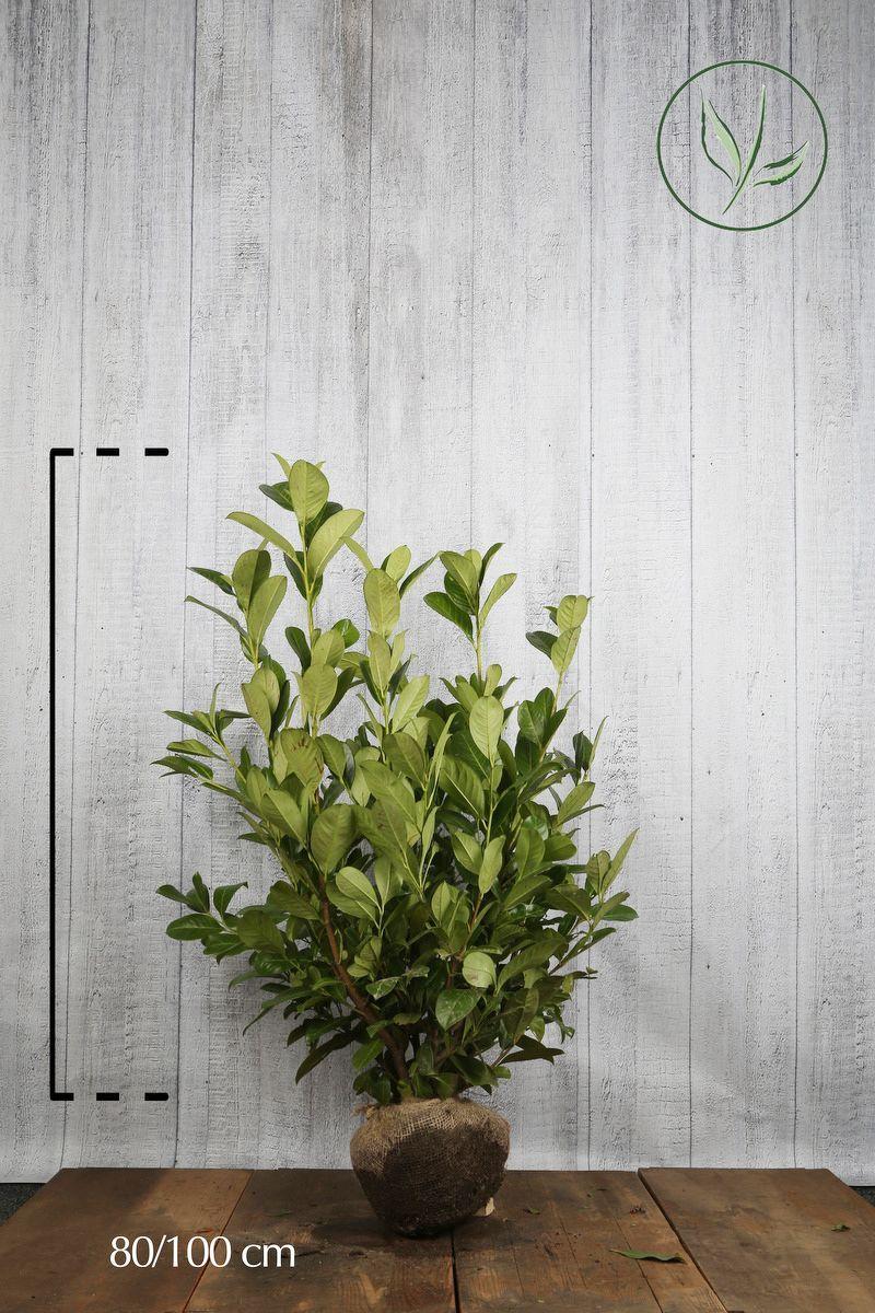 Grossblättriger Kirschlorbeer  Wurzelballen 80-100 cm Extra Qualtität