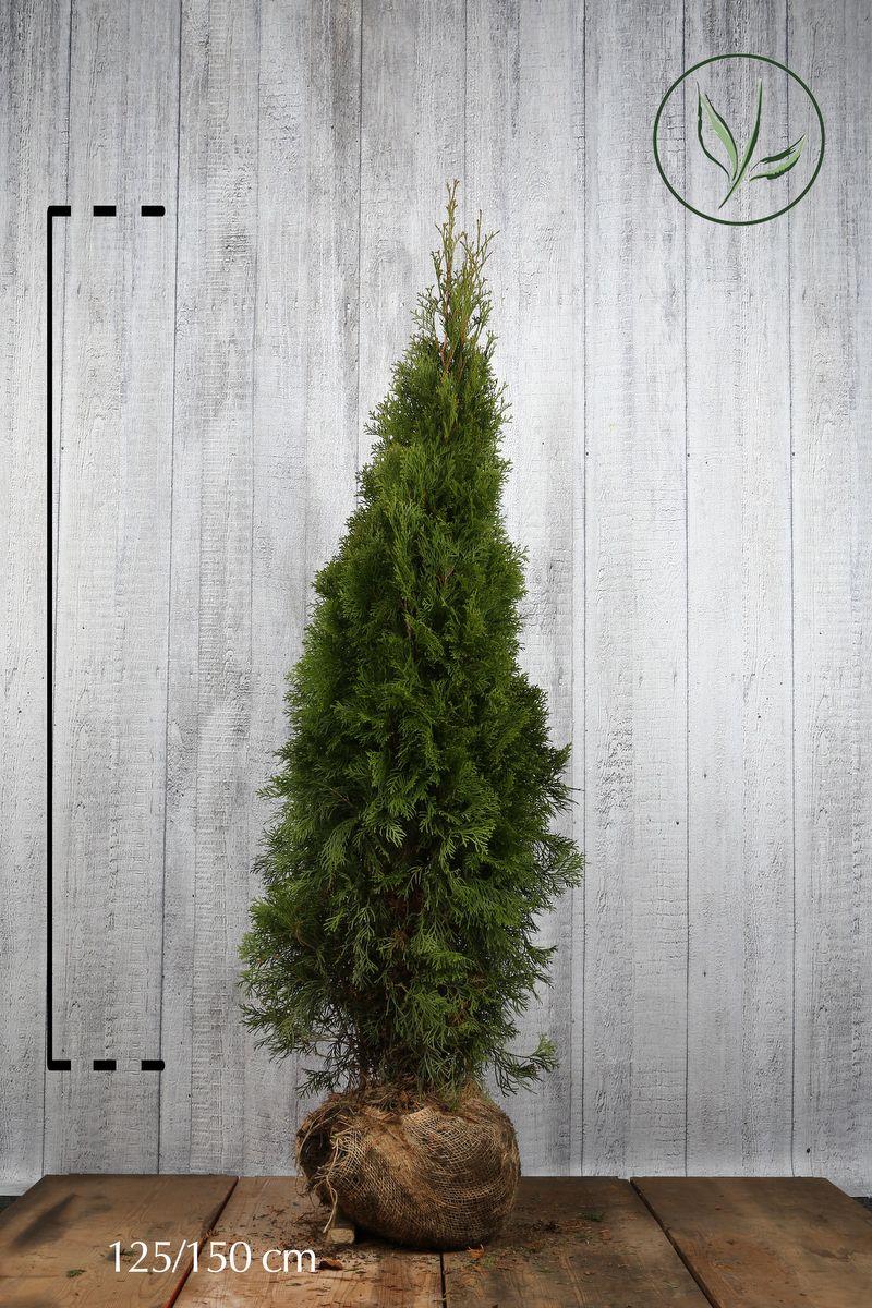 Lebensbaum 'Smaragd'  Wurzelballen 125-150 cm Extra Qualtität