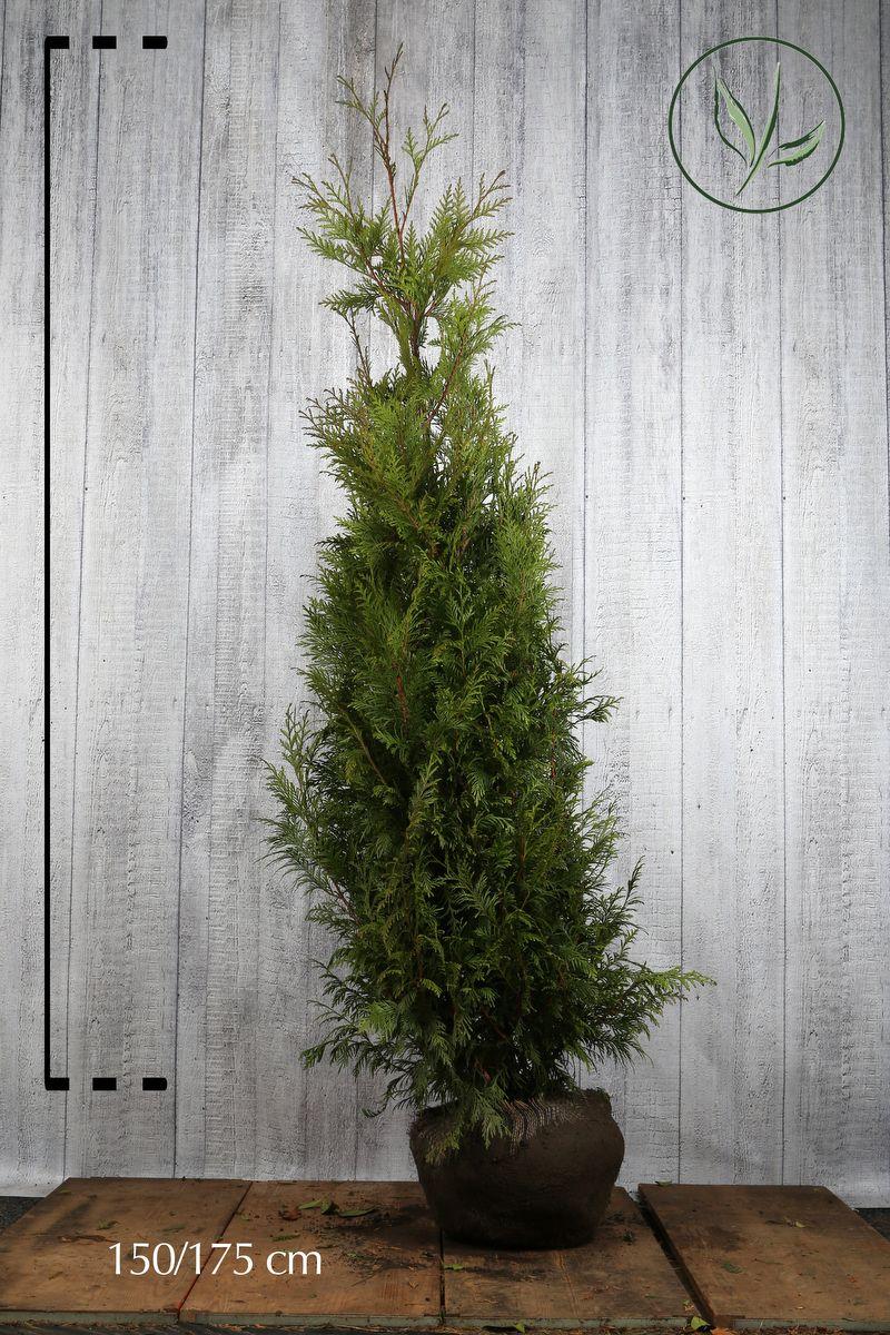 Lebensbaum 'Martin' Wurzelballen 150-175 cm Extra Qualtität