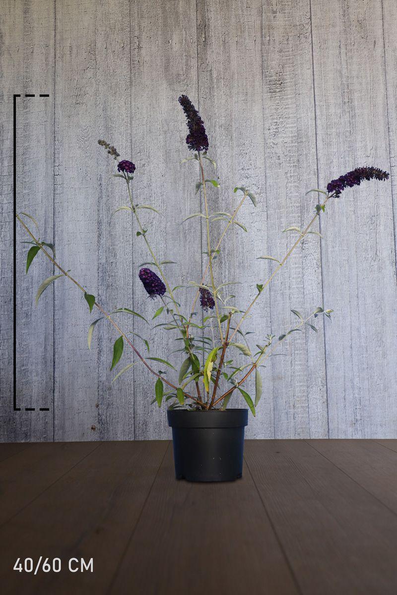 Schmetterlingsstrauch 'Black Knight'  Topf 40-60 cm
