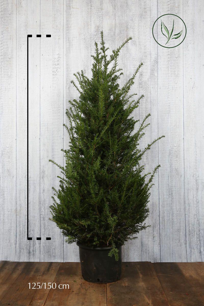 Gemeine Eibe Topf 125-150 cm