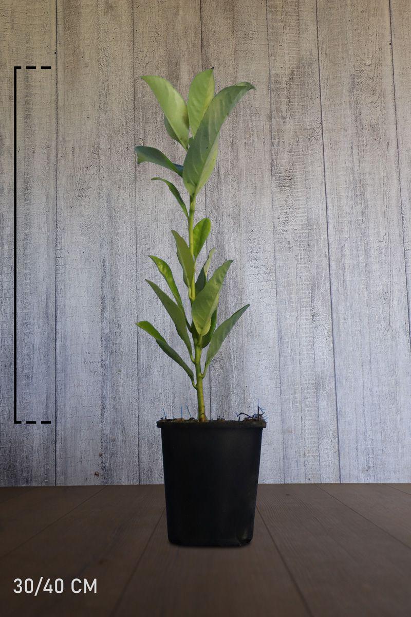 Grossblättriger Kirschlorbeer  Topf 30-40 cm