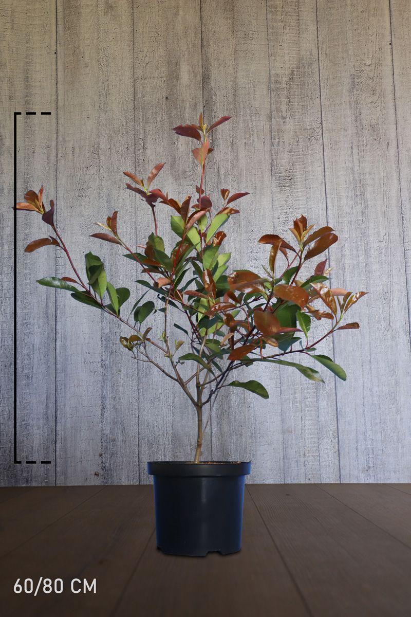 Glanzmispel - 'Red Robin' Topf 60-80 cm Extra Qualtität