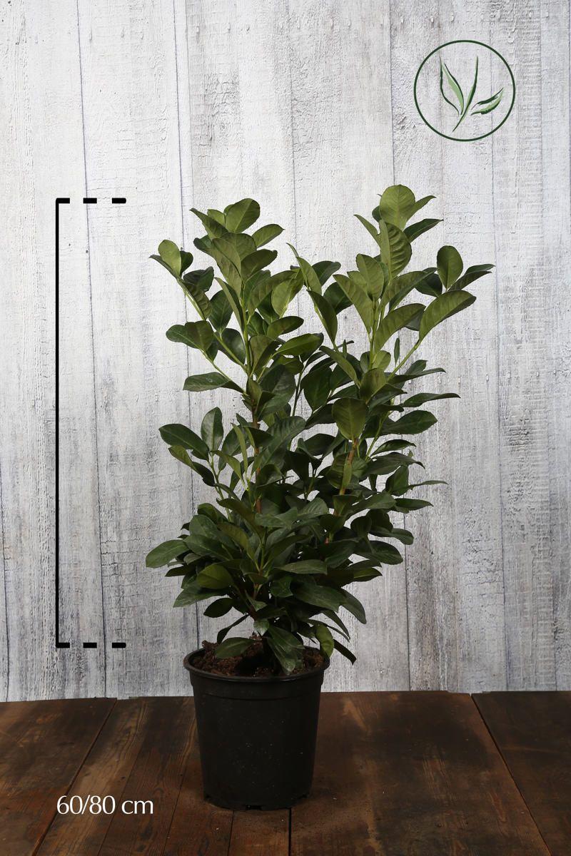 Kirschlorbeer Etna  Topf 60-80 cm Extra Qualtität