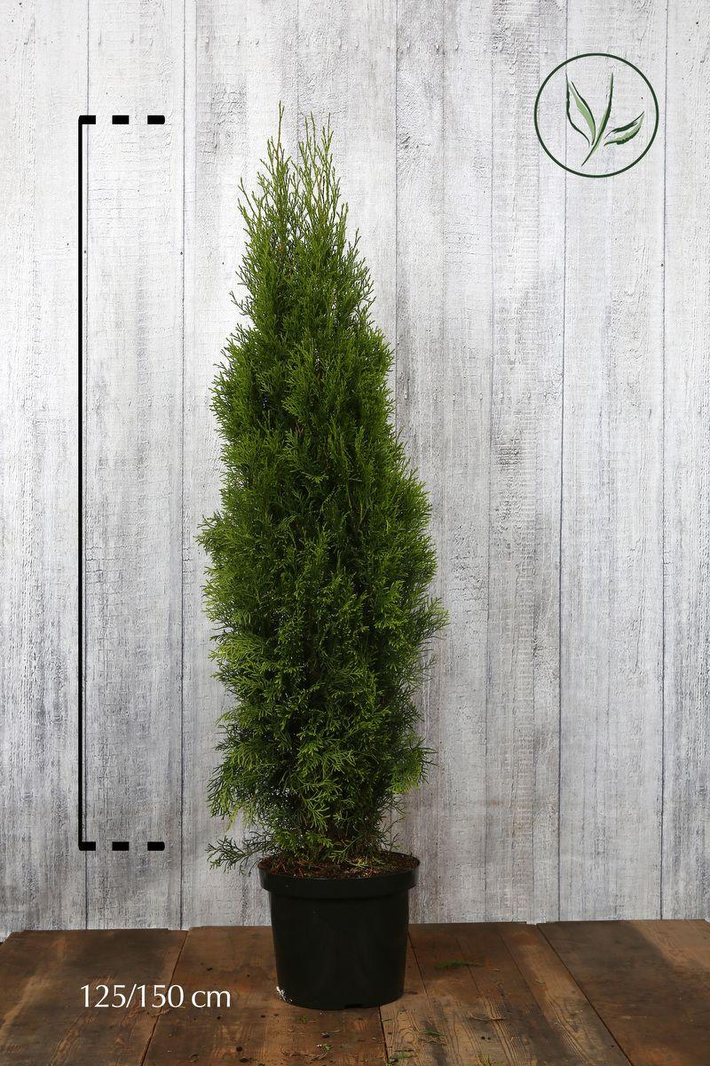 Lebensbaum 'Smaragd'  Topf 125-150 cm Extra Qualtität