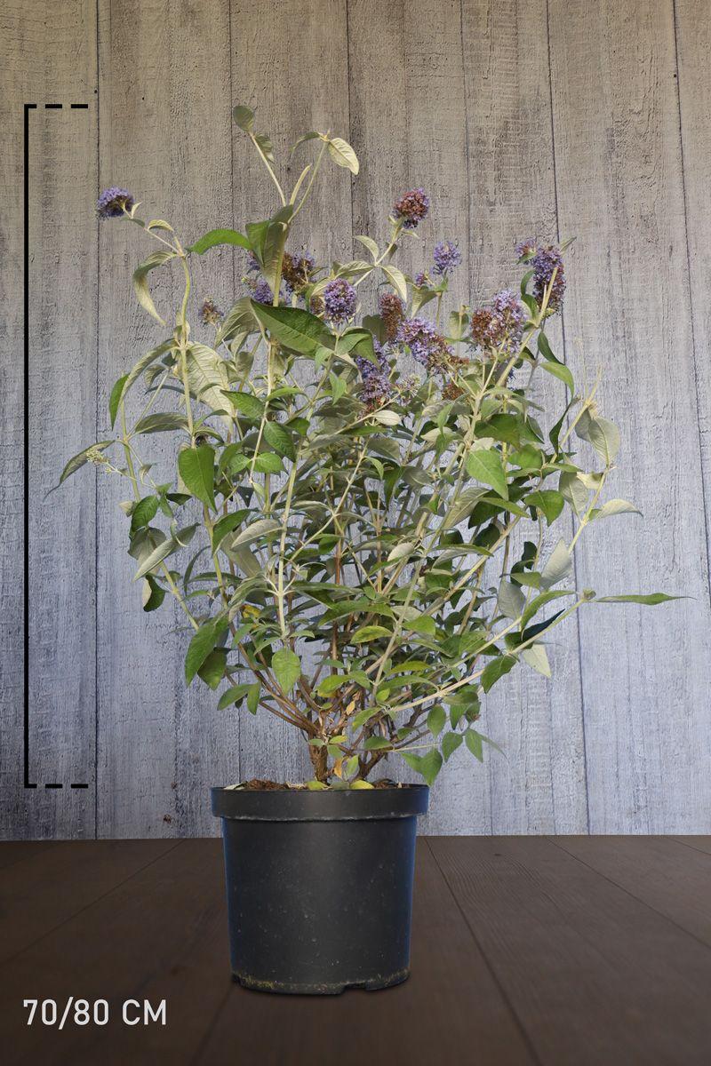 Schmetterlingsstrauch 'Lochinch' Topf 70-80 cm Extra Qualtität