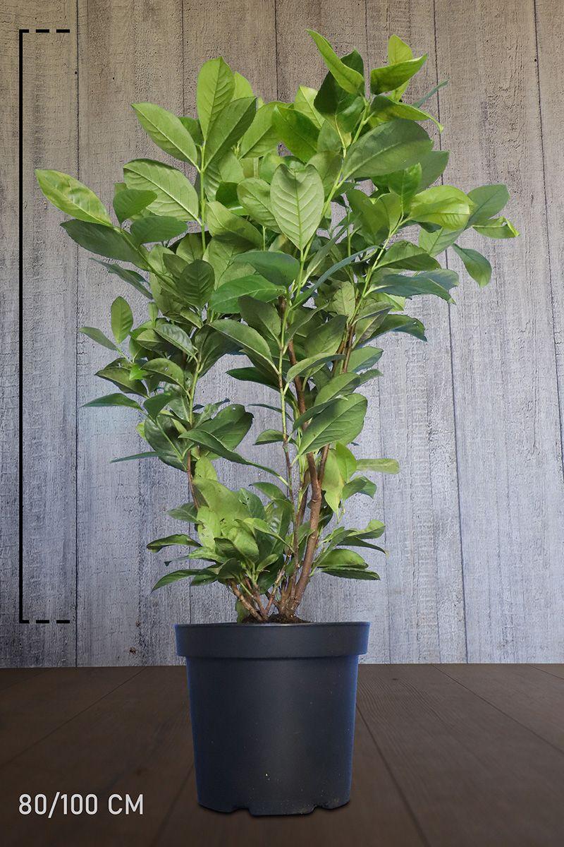 Grossblättriger Kirschlorbeer  Topf 80-100 cm