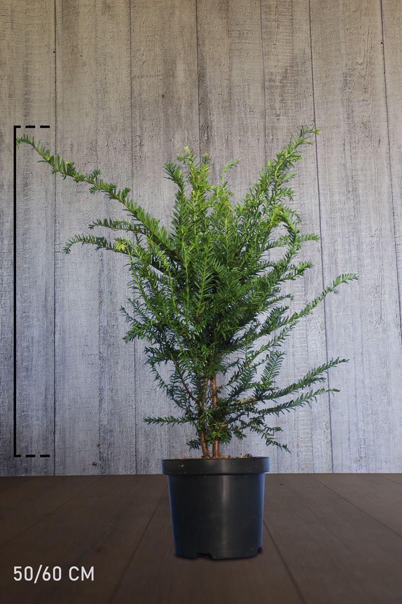 Gemeine Eibe Topf 50-60 cm Extra Qualtität