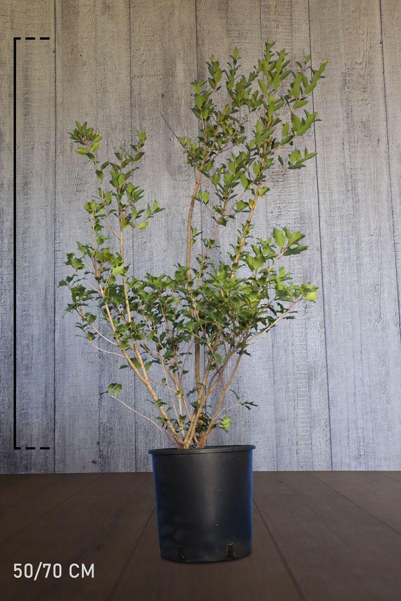 Herbstblühende Duftblüte Topf 50-70 cm Extra Qualtität