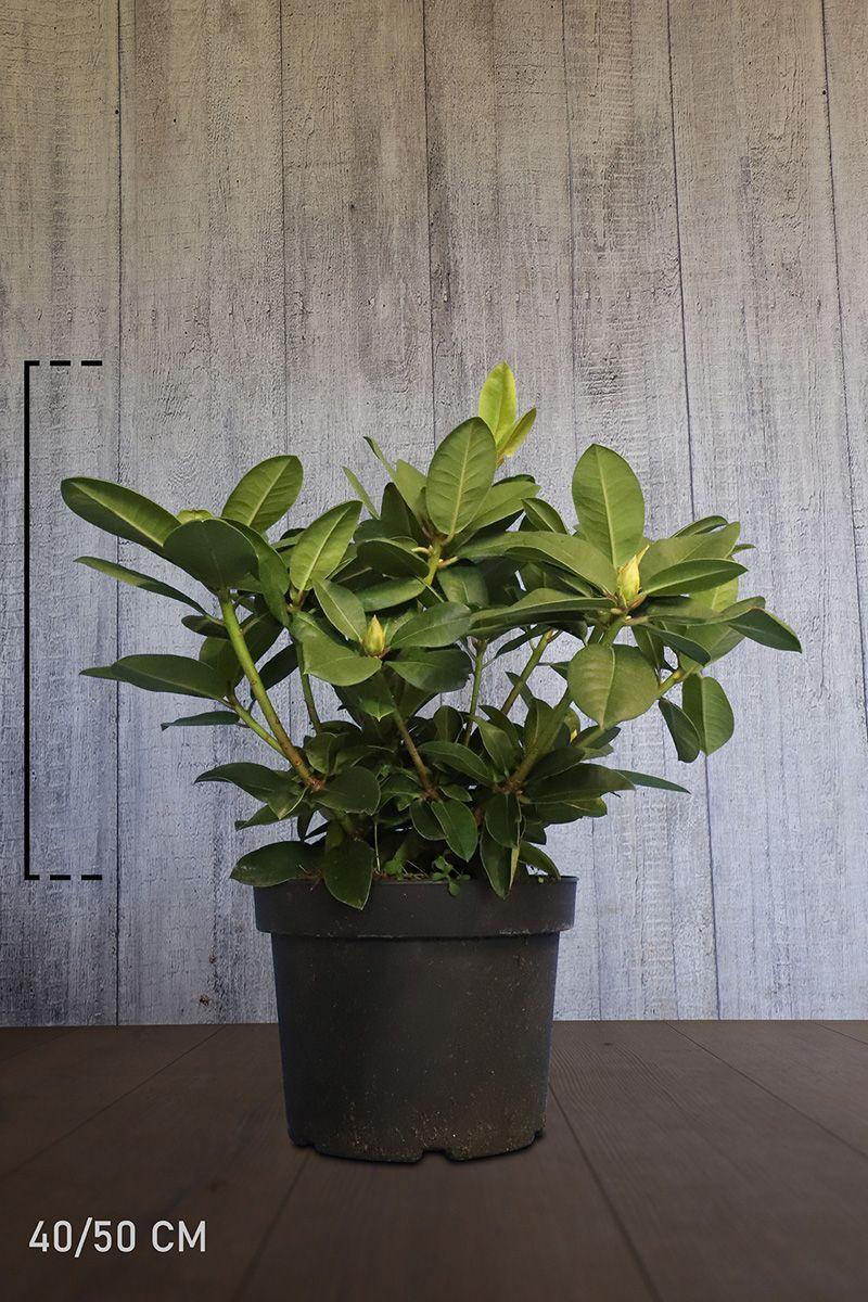 Rhododendron 'Germania'  Topf 40-50 cm Extra Qualtität