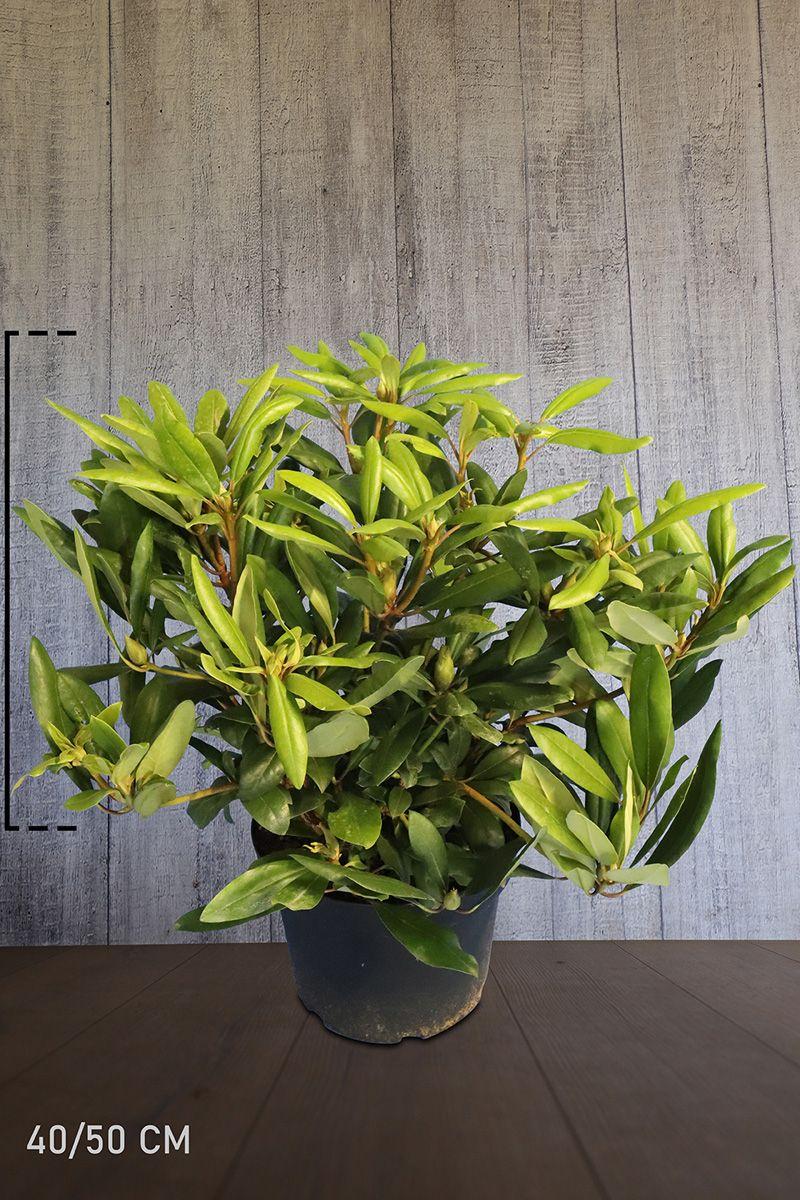 Rhododendron 'Marcel Menard'  Topf 40-50 cm Extra Qualtität