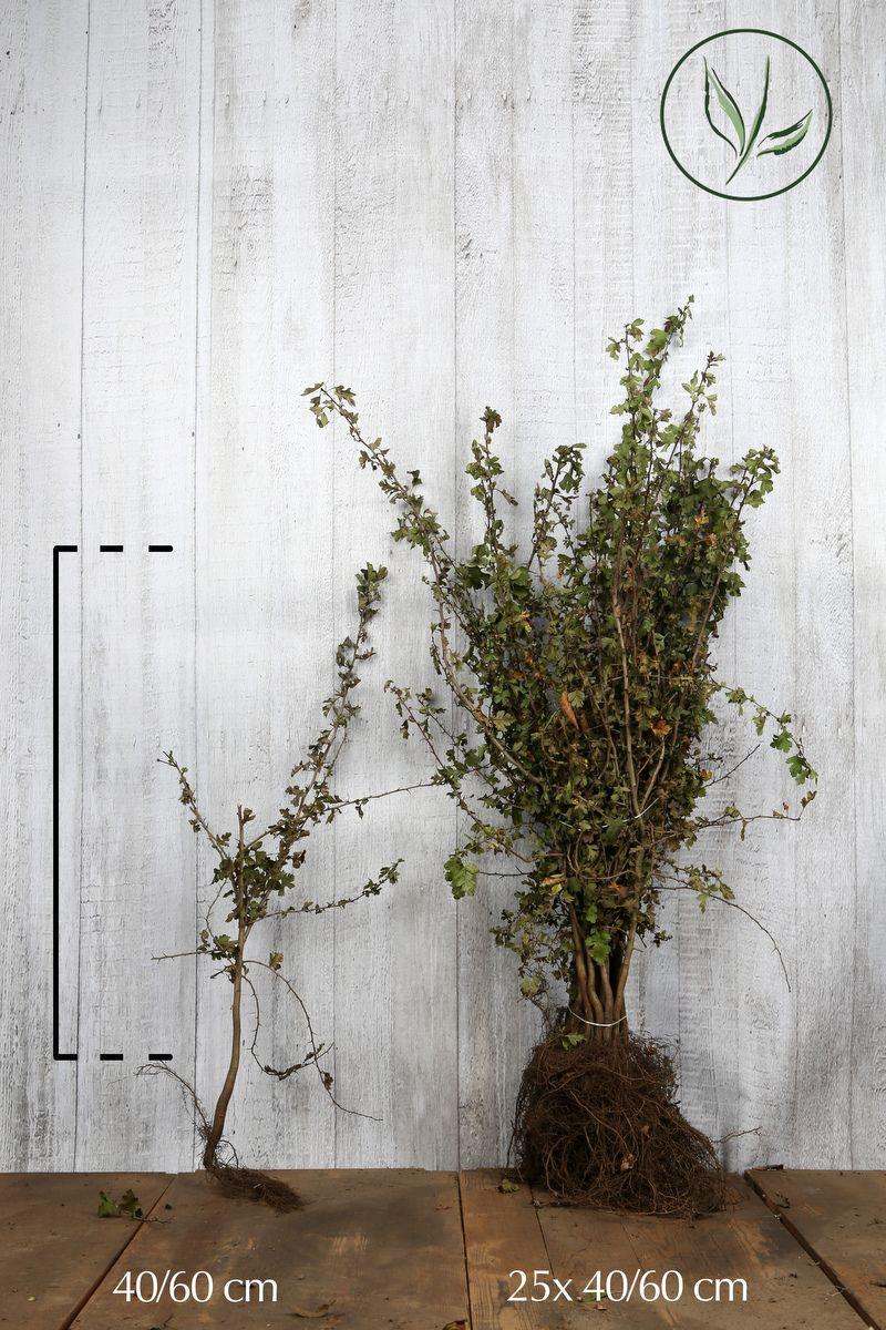 Eingriffeliger Weissdorn  Wurzelware 40-60 cm