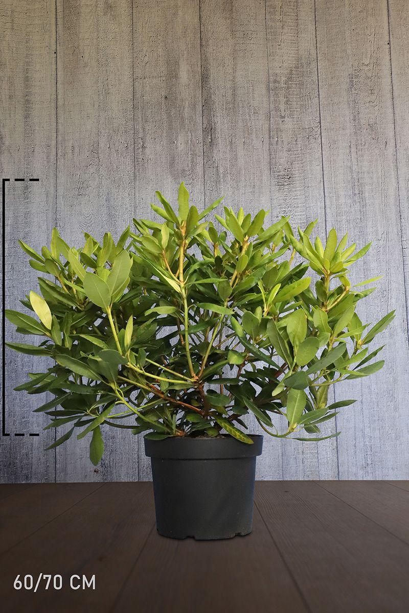 Rhododendron 'Germania'  Topf 60-70 cm Extra Qualtität