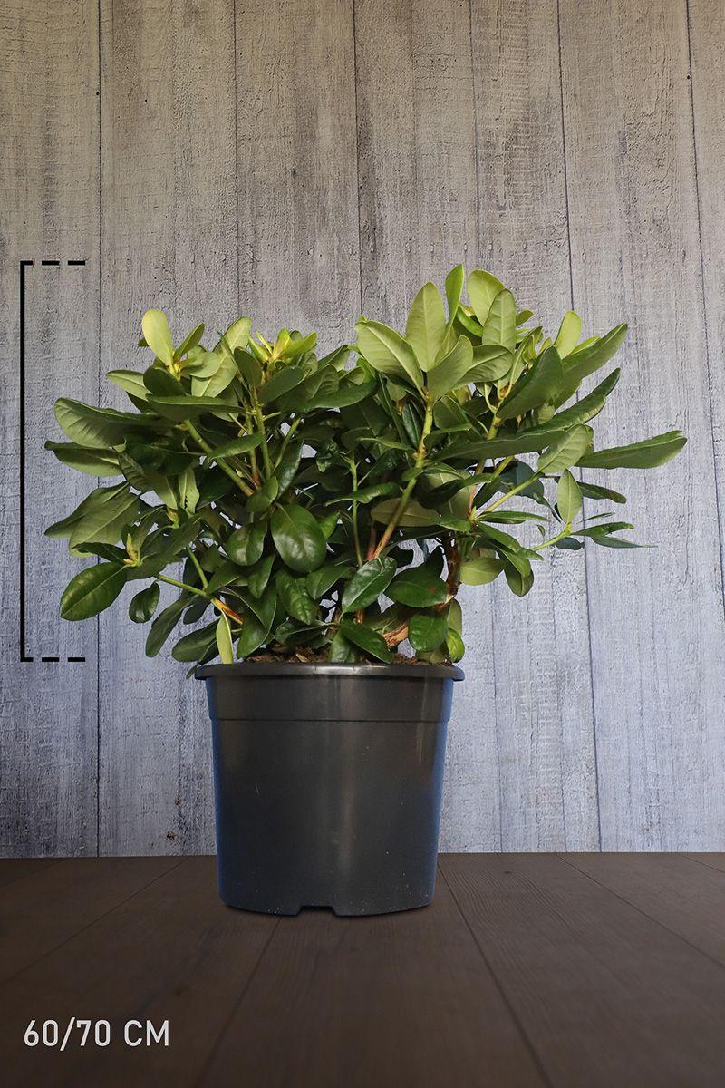 Rhododendron 'Scintillation'  Topf 60-70 cm Extra Qualtität