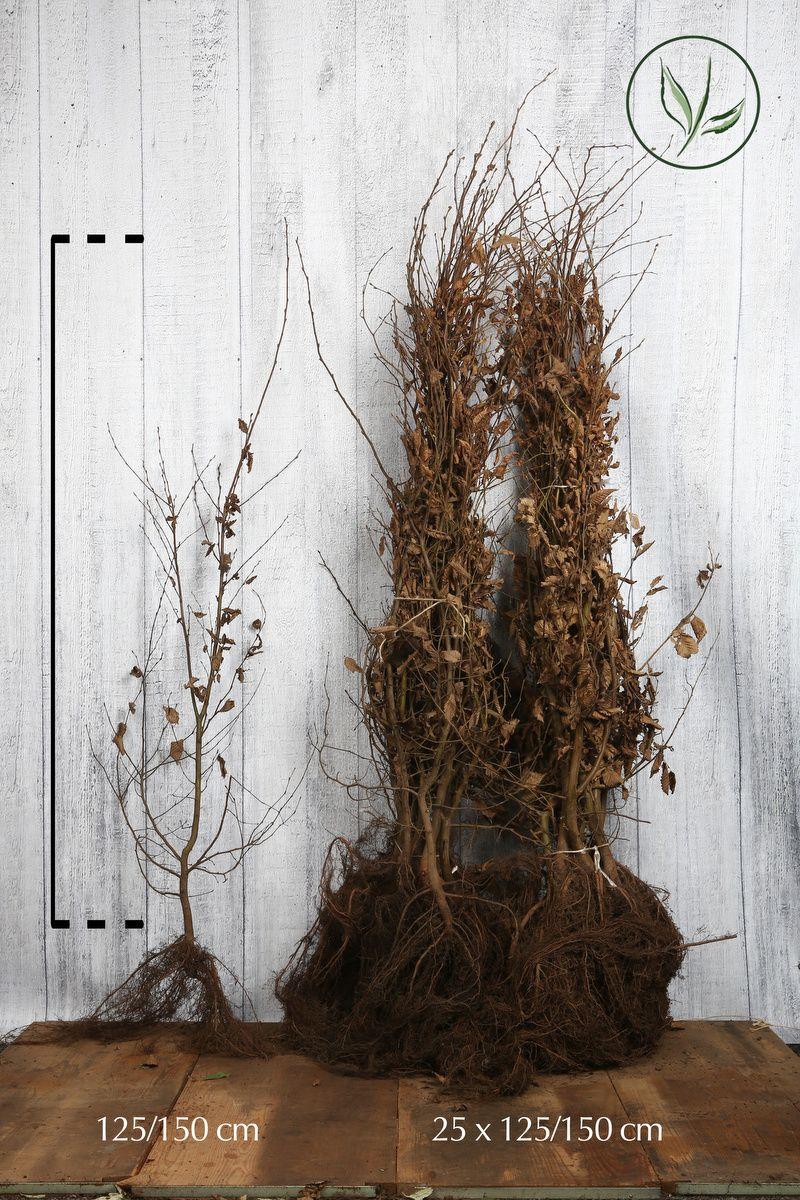 Hainbuche, Weissbuche  Wurzelware 125-150 cm Extra Qualtität