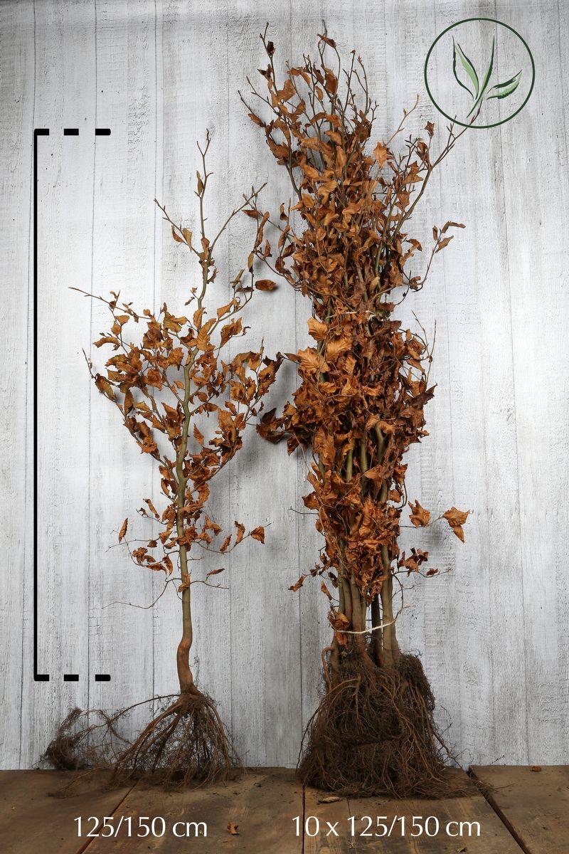 Rotbuche  Wurzelware 125-150 cm Extra Qualtität