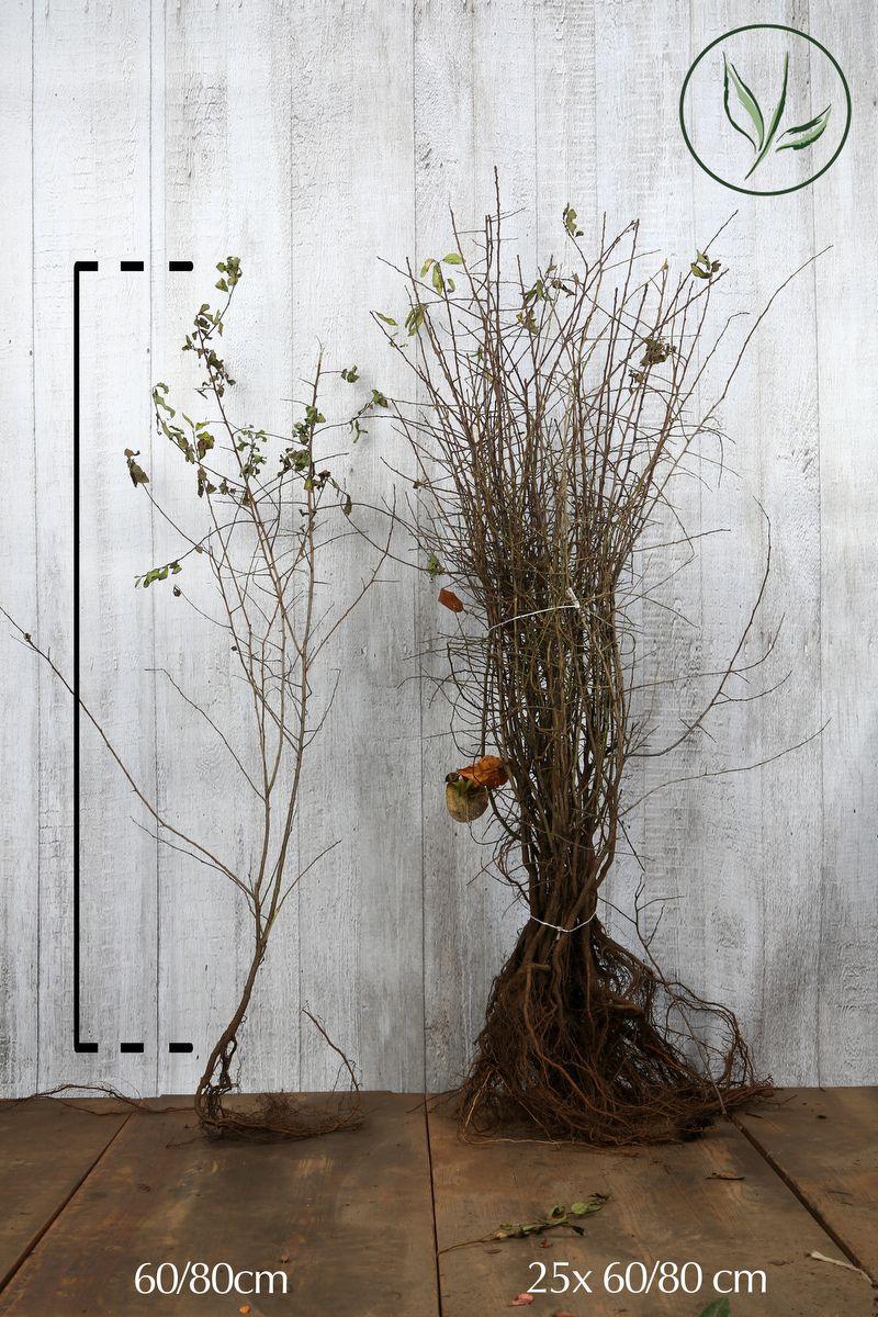 Schlehe  Wurzelware 60-80 cm