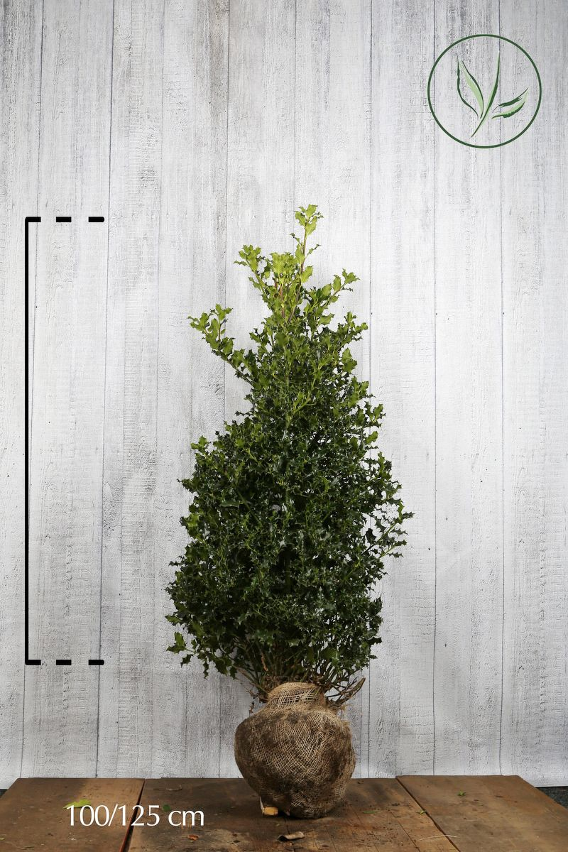 Stechpalme Wurzelballen 100-125 cm