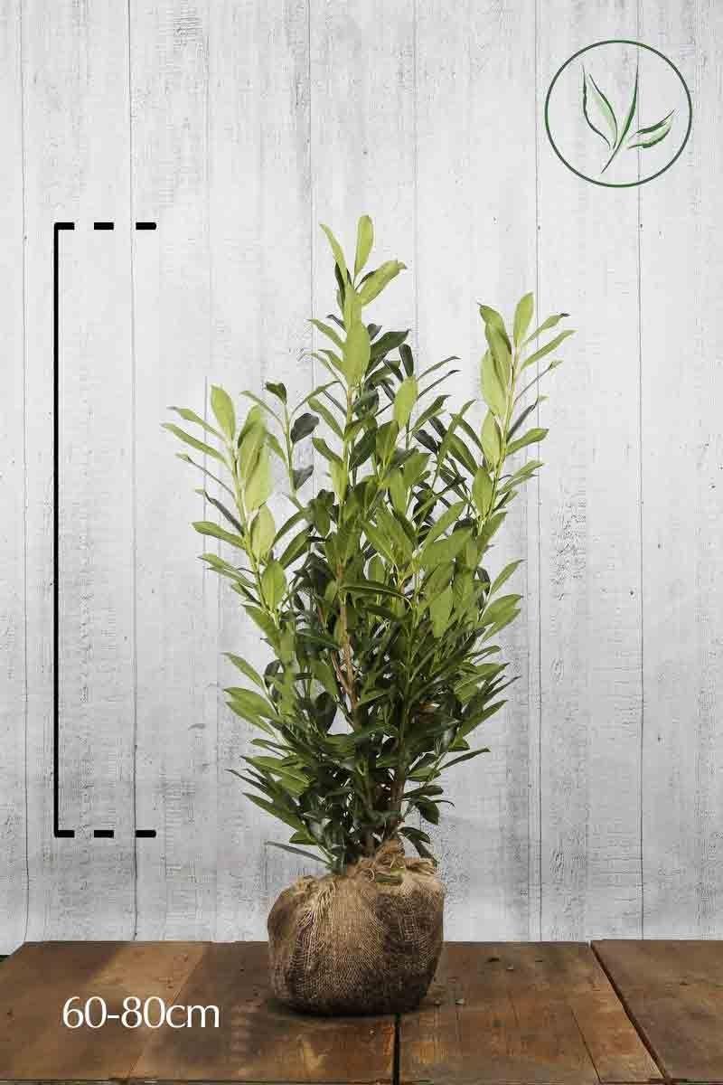 Kirschlorbeer 'Caucasica'  Wurzelballen 60-80 cm