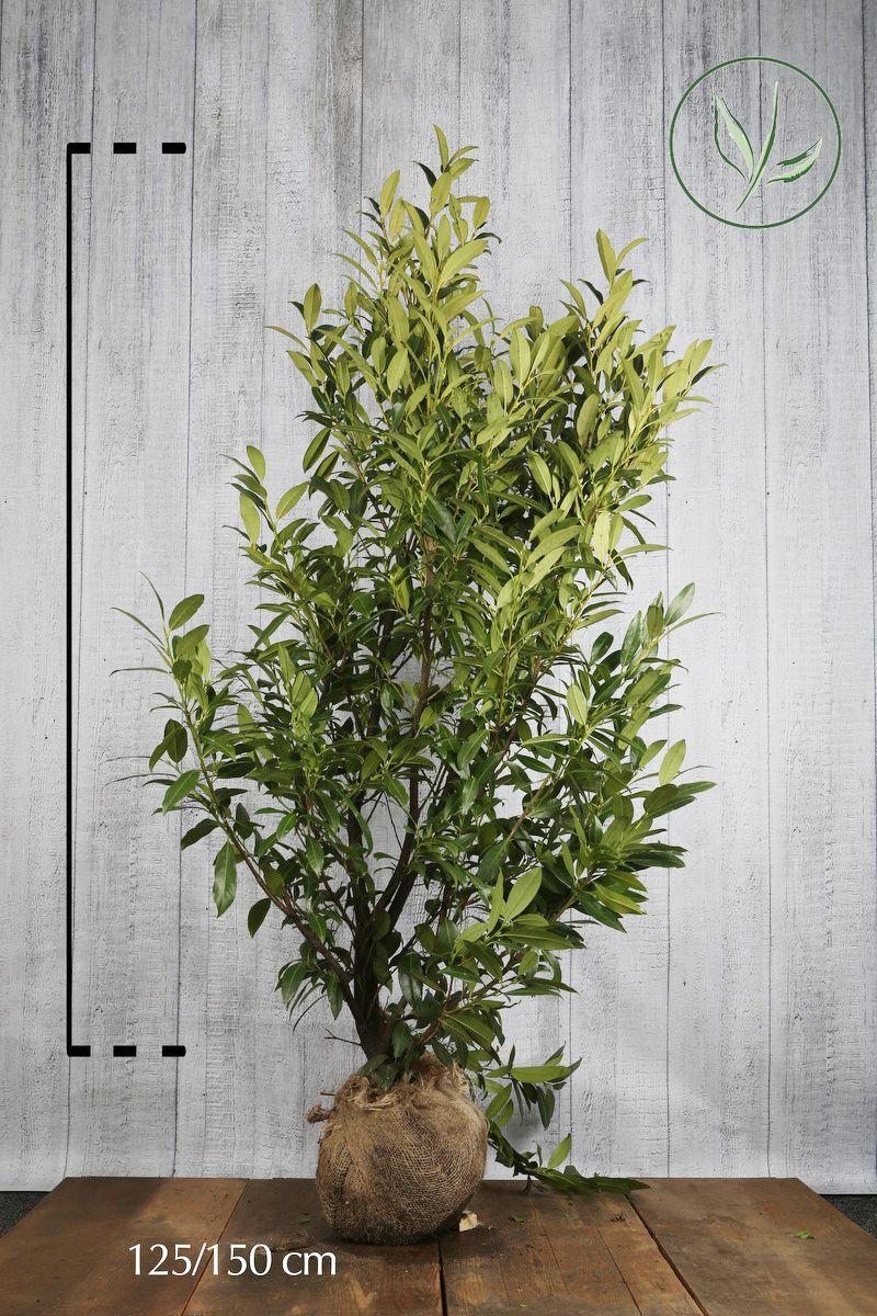 Kirschlorbeer 'Herbergii' Wurzelballen 125-150 cm Extra Qualtität