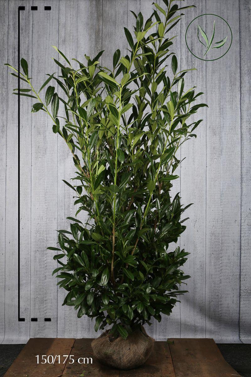 Kirschlorbeer 'Herbergii' Wurzelballen 150-175 cm Extra Qualtität