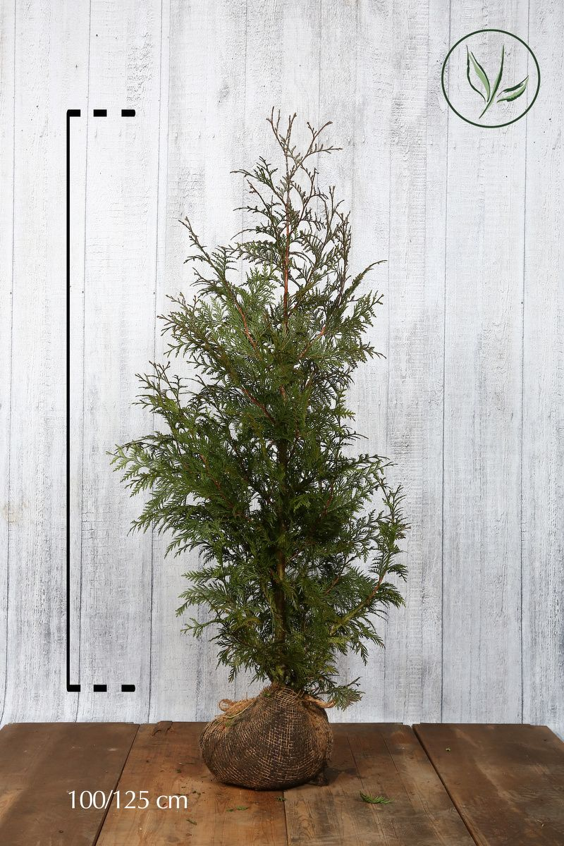 Lebensbaum 'Excelsa' Wurzelballen 100-125 cm