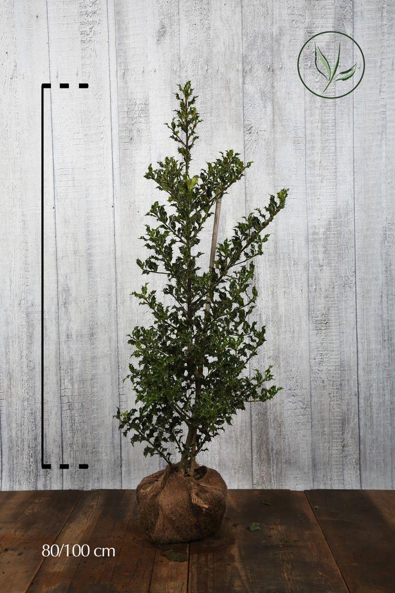 Stechpalme 'Alaska'  Wurzelballen 80-100 cm