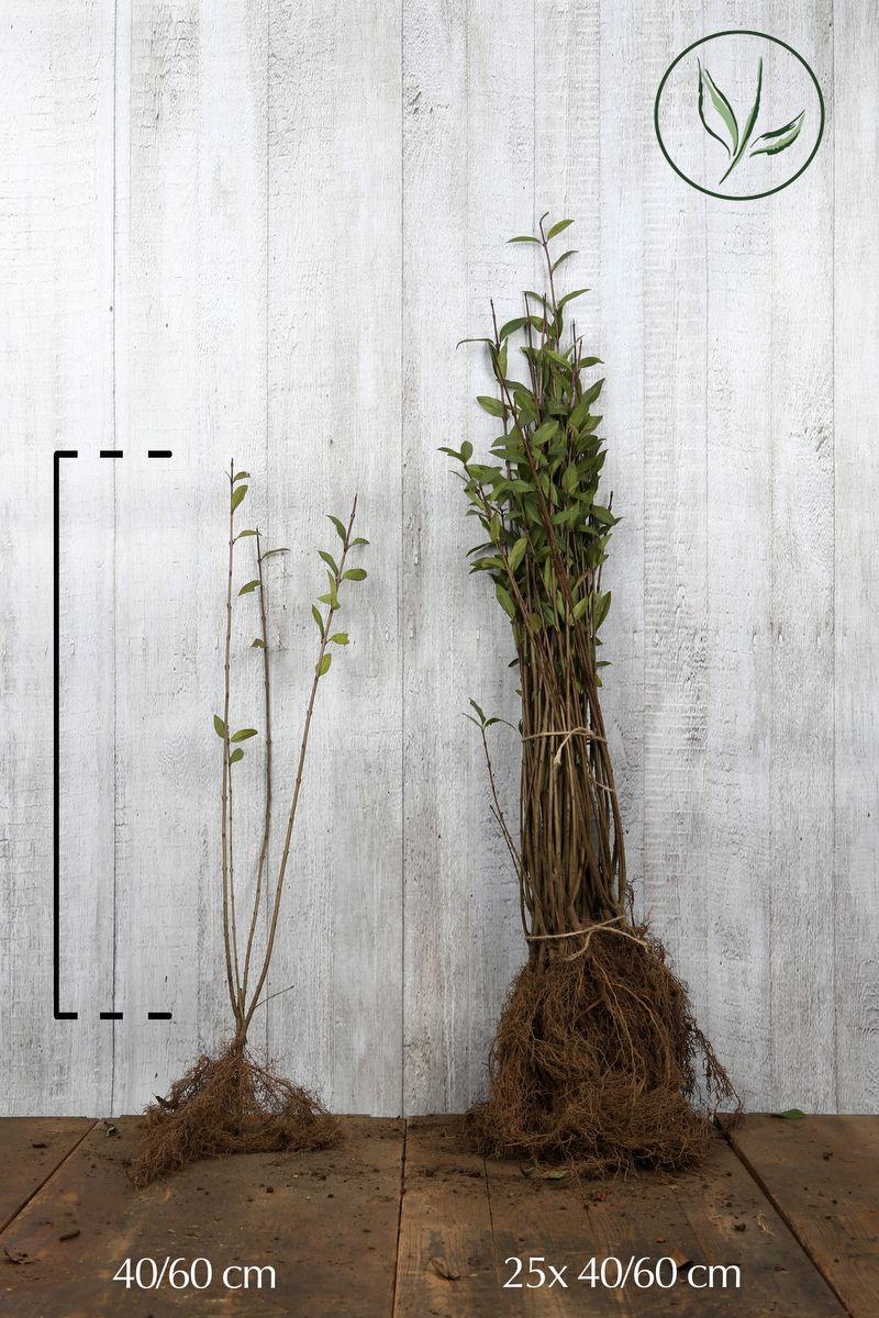 Gemeiner Liguster   Wurzelware 40-60 cm