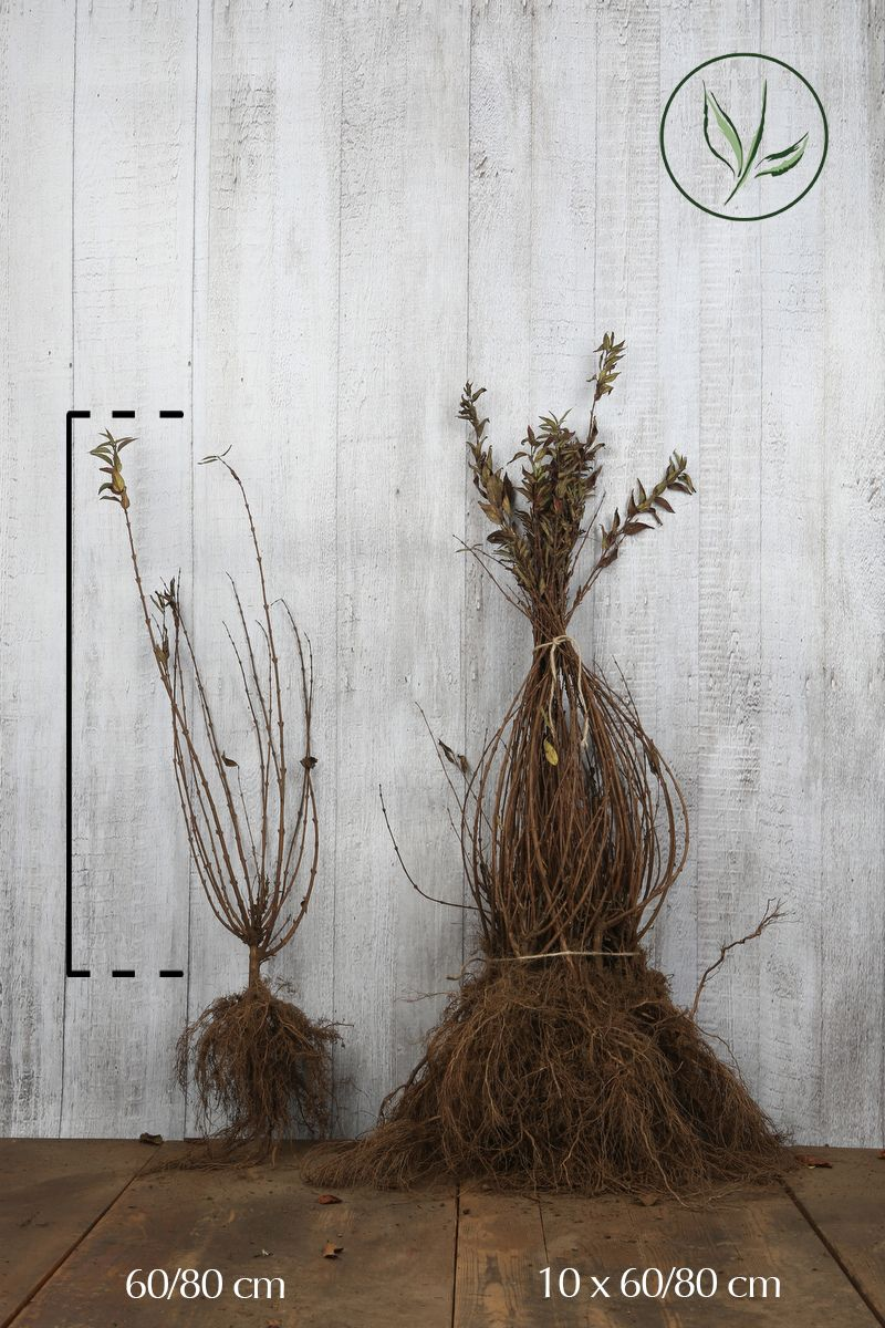 Gemeiner Liguster   Wurzelware 60-80 cm