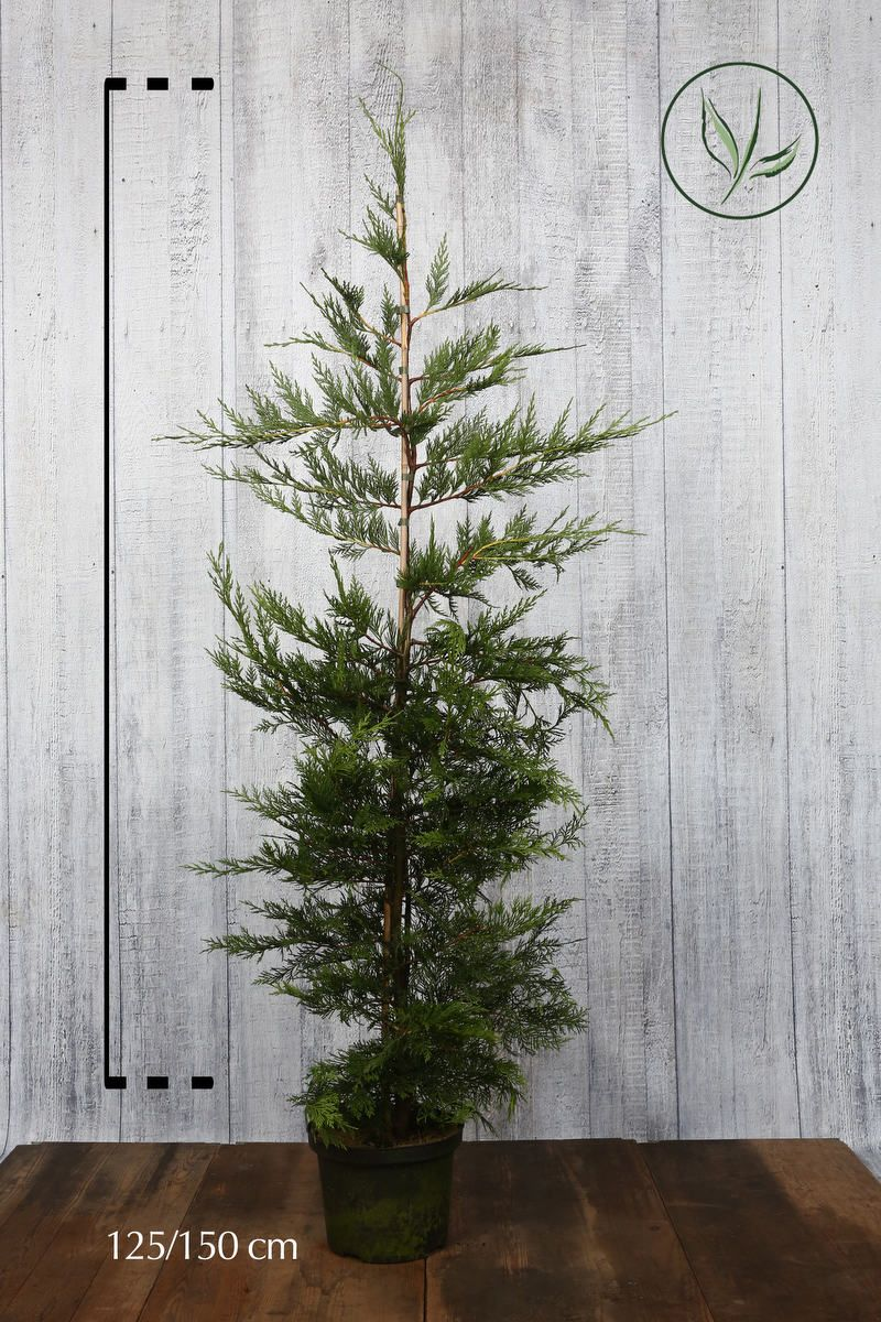 Grüne Bastardzypresse  Topf 125-150 cm Extra Qualtität